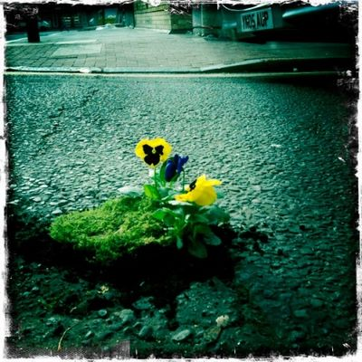 Potholegardenpansy