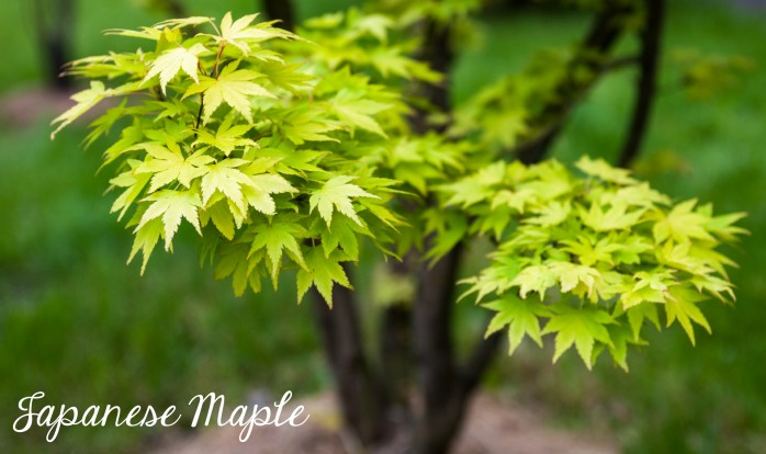 Japanese Maple, one of the 7 Perfect Plants for a Northwest Summer: Gorgeous plants that thrive in the Northwest climate!