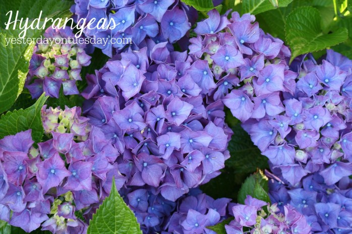 Hydrangeas, one of the 7 Perfect Plants for a Northwest Summer: Gorgeous plants that thrive in the Northwest climate!