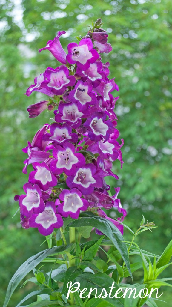 Penstemon, one of the 7 Perfect Plants for a Northwest Summer: Gorgeous plants that thrive in the Northwest climate!