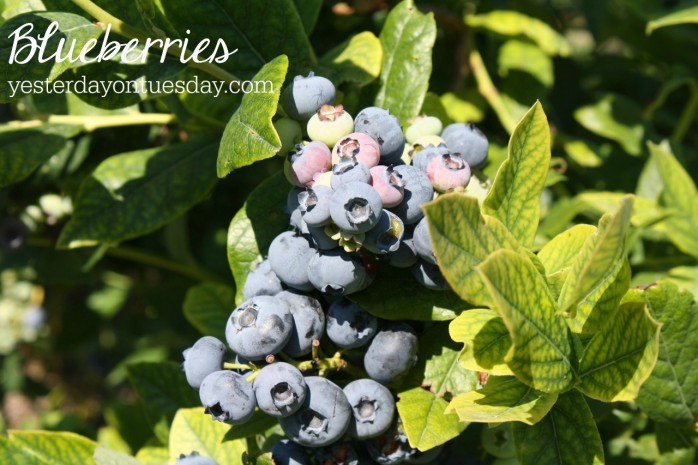 Blueberries, one of the 7 Perfect Plants for a Northwest Summer: Gorgeous plants that thrive in the Northwest climate!