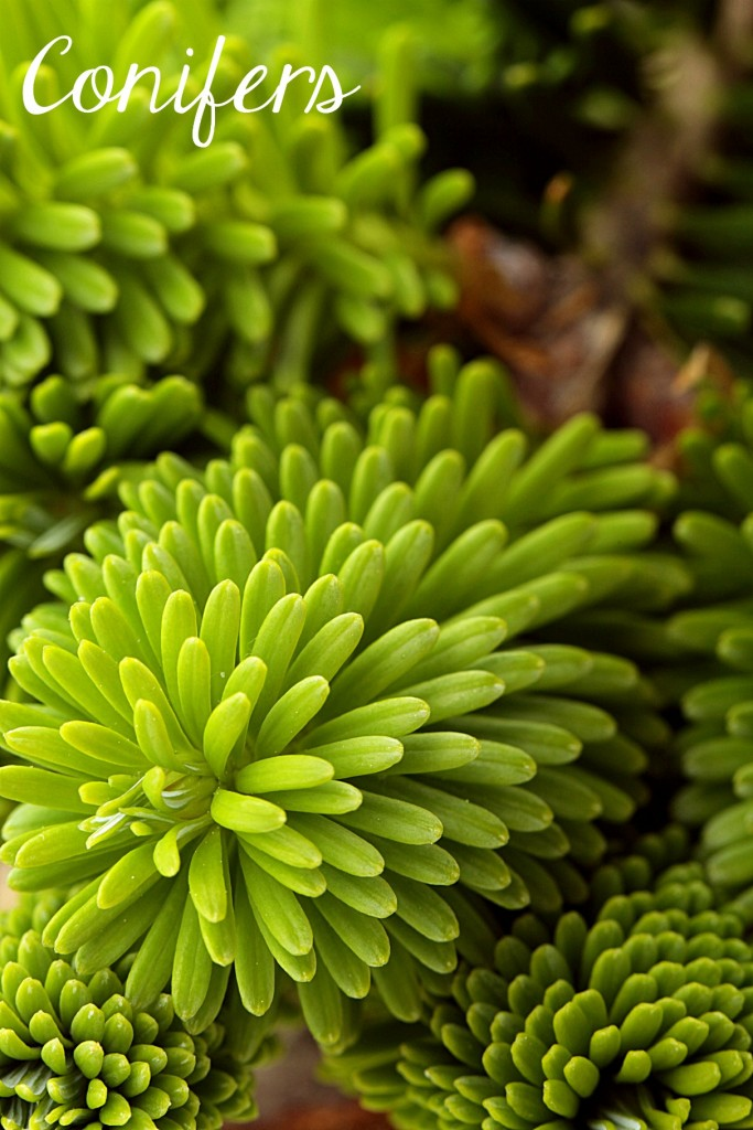 Conifers,, one of the 7 Perfect Plants for a Northwest Summer: Gorgeous plants that thrive in the Northwest climate!