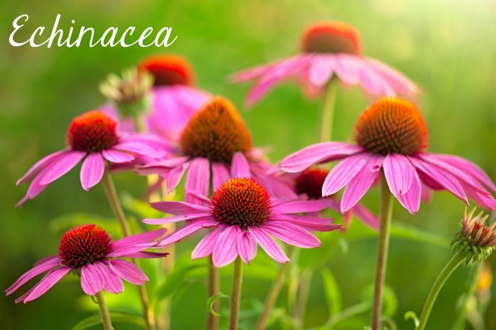 Echinacea, one of the 7 Perfect Plants for a Northwest Summer: Gorgeous plants that thrive in the Northwest climate!