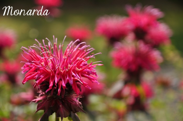 Monarda, one of the 7 Perfect Plants for a Northwest Summer: Gorgeous plants that thrive in the Northwest climate!